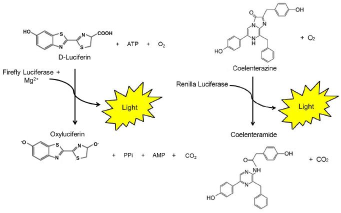 luciferase - Εμβόλιο του Κορωναϊού - Covid και γιατί να το αποφύγω !